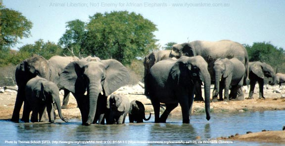 Animal Liberation; No1 Enemy of African Elephants